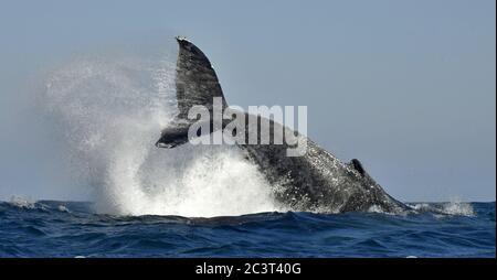 Ein Buckelwal hebt seinen mächtigen Schwanz über das Wasser des Ozeans. Der Wal sprüht Wasser. Wissenschaftlicher Name: Megaptera novaeangliae. Af Süd
