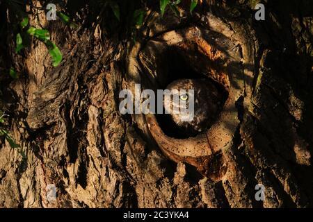 Kleine Eule / Minervas Eule / Steinkauz ( Athene noctua ) aus einer Baumhöhle im ersten Morgenlicht beobachten, sieht niedlich aus, Tierwelt, Europa. - Stockfoto