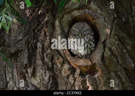 Kleine Eule / Minervas Eule ( Athene noctua ) thront, sitzt in einer natürlichen Baumhöhle, sieht ernst, Tierwelt, Europa. - Stockfoto