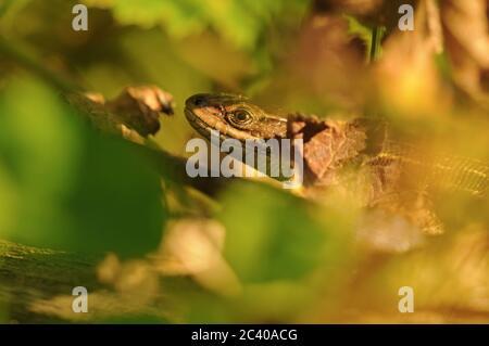 Lebhafter Eidechse oder gemeine Eidechse, Zootoca vivipara, versteckt im Laub, Norfolk, August