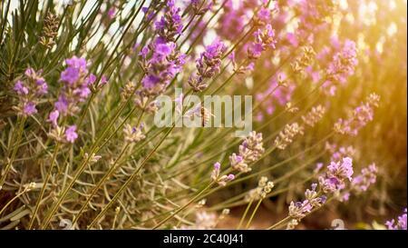 Honigbiene bestäubt die Lavendelblüten. Hummel bestäubt die Lavendelblüten. Nektar sammeln in der Provinz ländlichen Gebieten mit endlosen Feld - Stockfoto