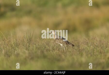 Curlew (Wissenschaftlicher Name: Numenius Arquata) Erwachsene Curlew ruft mit Schnabel während der Brutzeit offen. Lebensraum für Moorlandschaft, Tan Hill, Archengarthdale - Stockfoto
