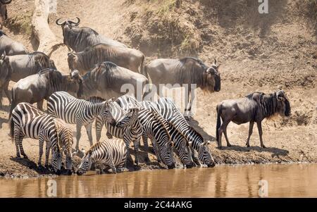 Kleine Herde Zebras, die am Rande des Mara River steht und Wasser trinkt, während der berühmten Großen Migr wartet die wildebeste Herde hinter ihnen Stockfoto