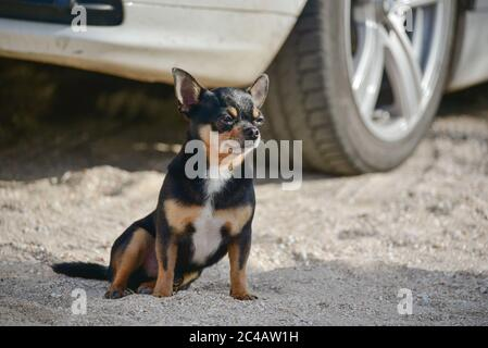 Ein kleiner Chihuahua Hund sitzt neben Autorader. Chihuahua Hund in der Nähe des Autos. - Stockfoto