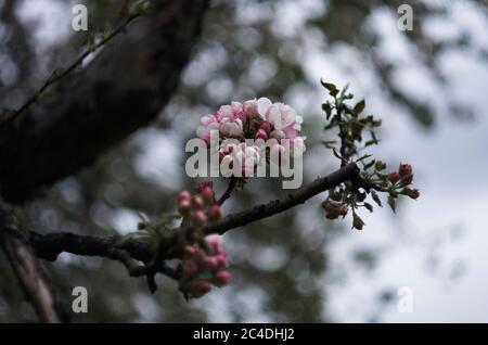 Zweig des blühenden Apfelbaumes in der bewölkten Tag, juni Sainy-Petersburg, Park, Garten, Nahaufnahme Blumen - Stockfoto