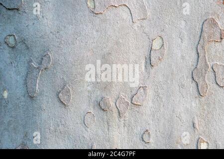 platan oder platan Baumrinde Textur Hintergrund in khaki Farben, khaki militärische Muster Imitation. - Stockfoto