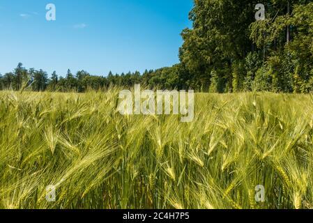 Nahaufnahme eines Getreidefeldes des Weizenfeldes im Sommer. Noch junge hellgrüne Getreide mit ihren Stielen und Ähren. Im Hintergrund blauer Himmel