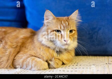 Rote Katze liegt auf einem blauen Sofa