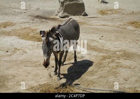 Provinz Almería, Andalusien, Spanien, Europa. Wüste Tabernas (Desierto de Tabernas). Oasys Mini Hollywood Filmset, westlicher Themenpark. Das Zoologische Reservat: Das Zebra von Grévy (Equus grevyi), auch als kaiserliches Zebra bekannt.