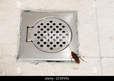 Kakerlake im Bad in der Nähe des Abflusslochs. Das Problem mit Insekten. Kakerlaken klettern durch die Kanalisation - Stockfoto