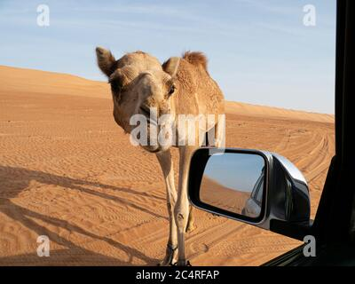 Arabische Kamele, Camelus dromedarius, nähern sich unserem LKW im Wüstensand von Ramlat Al Wahiba, Sultanat von Oman. - Stockfoto