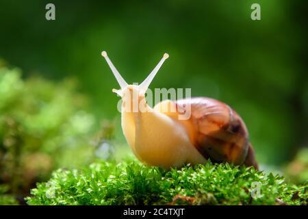 Nahaufnahme braune Schnecke (afrikanische Schnecke, Achatina fulica) kriecht auf dem grünen Moos - Stockfoto