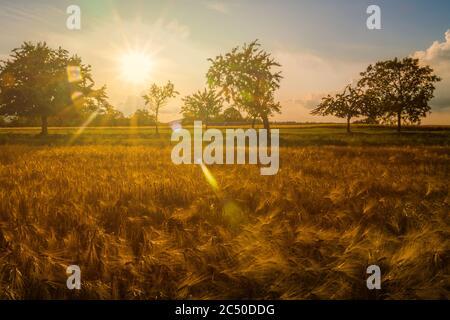 Sonnenlicht mit Linse flaire über Weizenfeld im Frühsommer oder späten Frühling. Landschaft oder Landschaft.