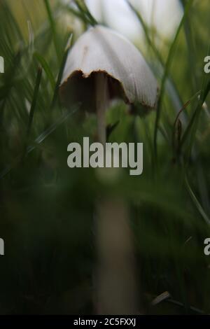 Weißer Pilz, Coprinellus disseminatus, Coprinus disseminatus, Feeninkcap, trooping bröckelige Kappe, wächst auf dem Rasen. - Stockfoto