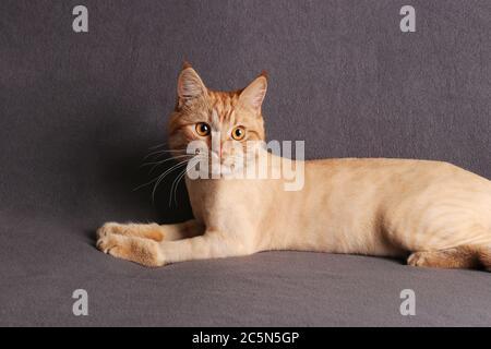Pflegerkatze, Junge modisch getrimmte Ingwer-Katze auf grauem Hintergrund