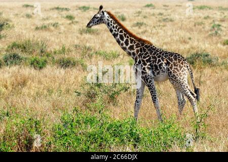 Einsames giraffenfohlen im Masai Mara Nationalpark, Kenia - Stockfoto