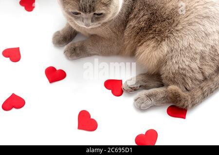 Die britische Fliederkatze schaut auf rote Herzen auf hellem Hintergrund. Valentinstag Konzept.