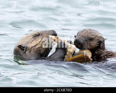 Eine Mutter und ein Welpen Seeotter (Enhydraa lutris), teilen sich eine Muschel Mahlzeit in Elkhorn Slough bei Moss Landing, California, USA, North Amer - Stockfoto