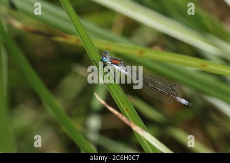 Ein seltener männlicher, seltener Smaragddamselfly, Lestes dryas, der auf einem Schilf am Rande eines Baches steht. - Stockfoto