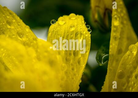 Makrofotografie der Frühlingszeit gelben Blumen gesehen eine extreme Nahaufnahme, zeigt Wassertropfen auf den zarten Blütenblättern, nach einem Regenguss aufgenommen. - Stockfoto