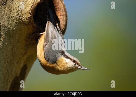 Kleine eurasische Nuthatch brütet auf Baum im Sommer. - Stockfoto