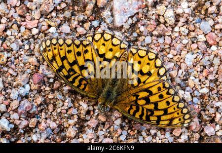Nahaufnahme des farbenfrohen Perlmutt-Halbmondschmetterlings; Phyciodes tharos; Monarch Mountain; Colorado Rocky Mountains; Colorado; USA - Stockfoto