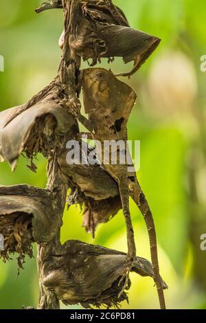 Glatter behelmetter Iguana, auch behelmeted Lizard genannt, behelmeted Basilisk (Corytophanes cristatus), Guapiles, Limon, Costa Rica