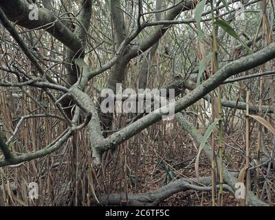 Alte verdrehte Äste und Bambus abstrakten Hintergrund Stockfoto