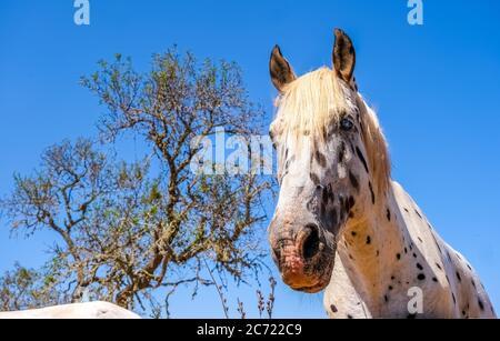 Apfelgrau, Pferd ähnlich Pippi Langstrumpf (mit vollem Namen Pippilotta Viktualia Rollgardina Peppermint Efraim's Tochter Langstrumpf), auf eine Vergangenheit - Stockfoto