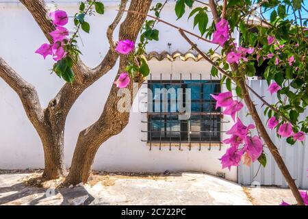 , , Olivenbaum und blühende Bougavilla in einem Hinterhof im Ferienort Cala d'Or an der Südostküste von Mallorca. Fenster mit Fenstersperre, Santanyí, EU - Stockfoto