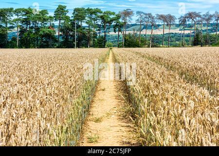 Fußweg durch ein Weizenfeld bei Maidstone in Kent. Die Nordabfälle sind in der Ferne zu sehen. - Stockfoto