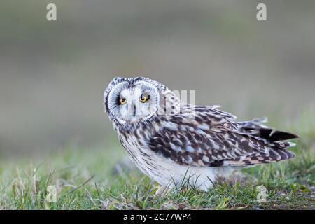 Kurzohreule (ASIO flammeus). Erwachsene im Gras. Deutschland - Stockfoto