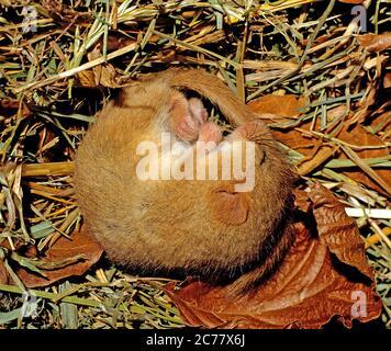 Dormouse, Hazel Dormouse (Muscardinus avellanarius) schlafend in Nistkasten. Deutschland - Stockfoto