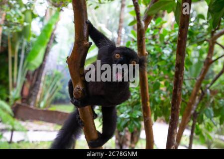 Ein schwarzer Lemur auf einem Baum wartet auf eine Banane - Stockfoto