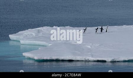 Adélie-Pinguine, die in der Antarktis entlang eines Eisbergs laufen