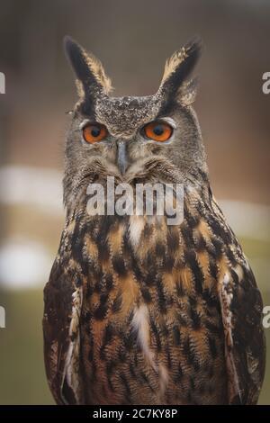 Nahaufnahme einer eurasischen Adlereule, die die anschaut Kamera im Freien an einem bewölkten Tag