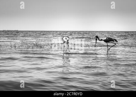 Männchen und Weibchen des Sattelstorches (Ephippiorhynchus senegalensis), der einen Fisch am Ufer des Victoriasees, Entebbe, Uganda, Afrika, isst - Stockfoto