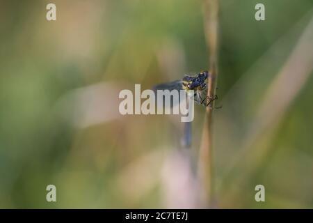 Eine Damselfliege (Lestes sponsa) auf einem Schilf sitzend. Der Kopf im Fokus, aber der Körper verblasst in den Hintergrund - Stockfoto