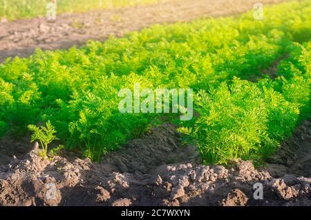 An einem sonnigen Tag wachsen auf dem Feld Pflanzungen junger Karotten. Gemüsereihen. Gemüseanbau. Bauernhof. Pflanzen Frische Grüne Pflanze. Landwirtschaft, Landwirtschaft