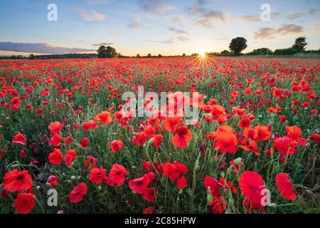 Rote Mohnblumen wachsen im Feld bei Sonnenuntergang, in der Nähe von Hungerford, West Berkshire, England, Großbritannien, Europa