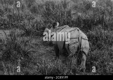 Ein monochromes Bild eines gehörnten Nashorns, das steht und Grasen inmitten von hohem Gras in einem Nationalpark in Assam Indien am 6. Dezember 2016 - Stockfoto