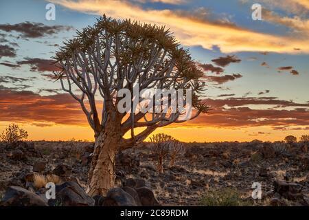 Sonnenuntergang im Köcherbaumwald, Aloe dichotoma, Bauernhof Garas, mesosaurus Fossil Site, Keetmanshoop, Namibia, Afrika