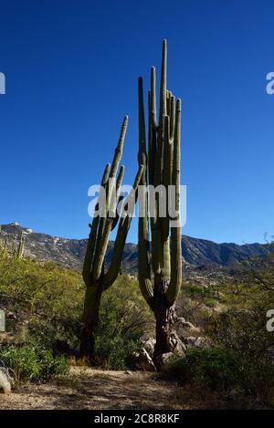 Rückläufige, ungesunde saguaro Kakteen wachsen in den Ausläufern der Santa Catalina, Berge, Sonoran Wüste, Catalina, Arizona, USA. - Stockfoto