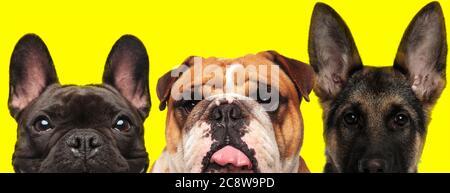 Deutsche Bulldogge Mit Seiner Zunge Heraus Stockfotografie Alamy