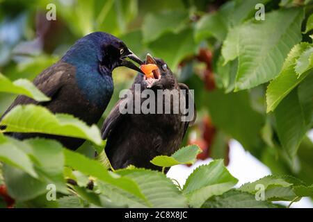 Elterntiere Grüngrackle Fütterung seiner Jungen in einem Kirschbaum - Stockfoto