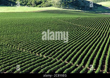 Ein Blick am frühen Morgen auf die Reihen in einem Feld von Kartoffeln in den rollenden fruchtbaren Felder der Farm von Idaho. - Stockfoto