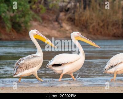 Erwachsene große weiße Pelikane, Pelecanus onocrotalus, am Sambezi-Fluss, Mosi-oa-Tunya National Park, Sambia. - Stockfoto