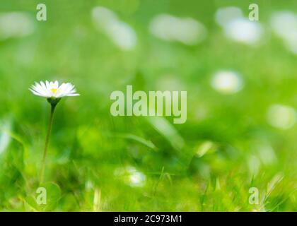 Single Gänseblümchen in einem üppigen grünen un-fokussierten Sommer Hintergrund auf einem hellen Sommer Morgen, für Copy Space und Text über lag geschossen
