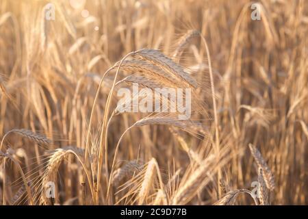 Weizenfeld. Ohren der goldene Weizen hautnah. Schöne Natur Sonnenuntergang Landschaft. Landschaft unter der strahlenden Sonne. Hintergrund der reifenden Ähren wh Stockfoto