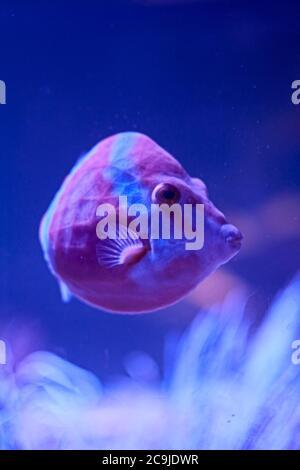 Raor Fische schwimmen im Meer. Algen, Felsen, Leuchtkraft, Meer - Stockfoto